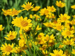 Arnica for Sebaceous Cyst