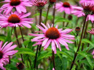 Echinacea for Sebaceous Cyst