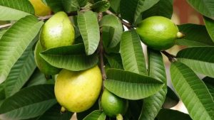 Guava Leaves for Sebaceous Cyst