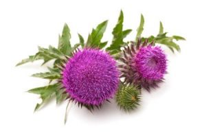 Milk Thistle for Sebaceous Cyst