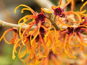 Witch Hazel for Sebaceous Cyst